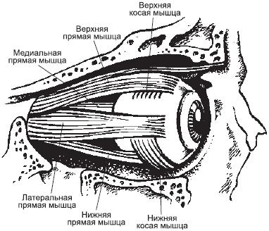 Рисунок 3. Мышцы глаза.