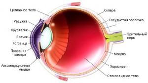 Рисунок 6. Сетчатка человеческого глаза.