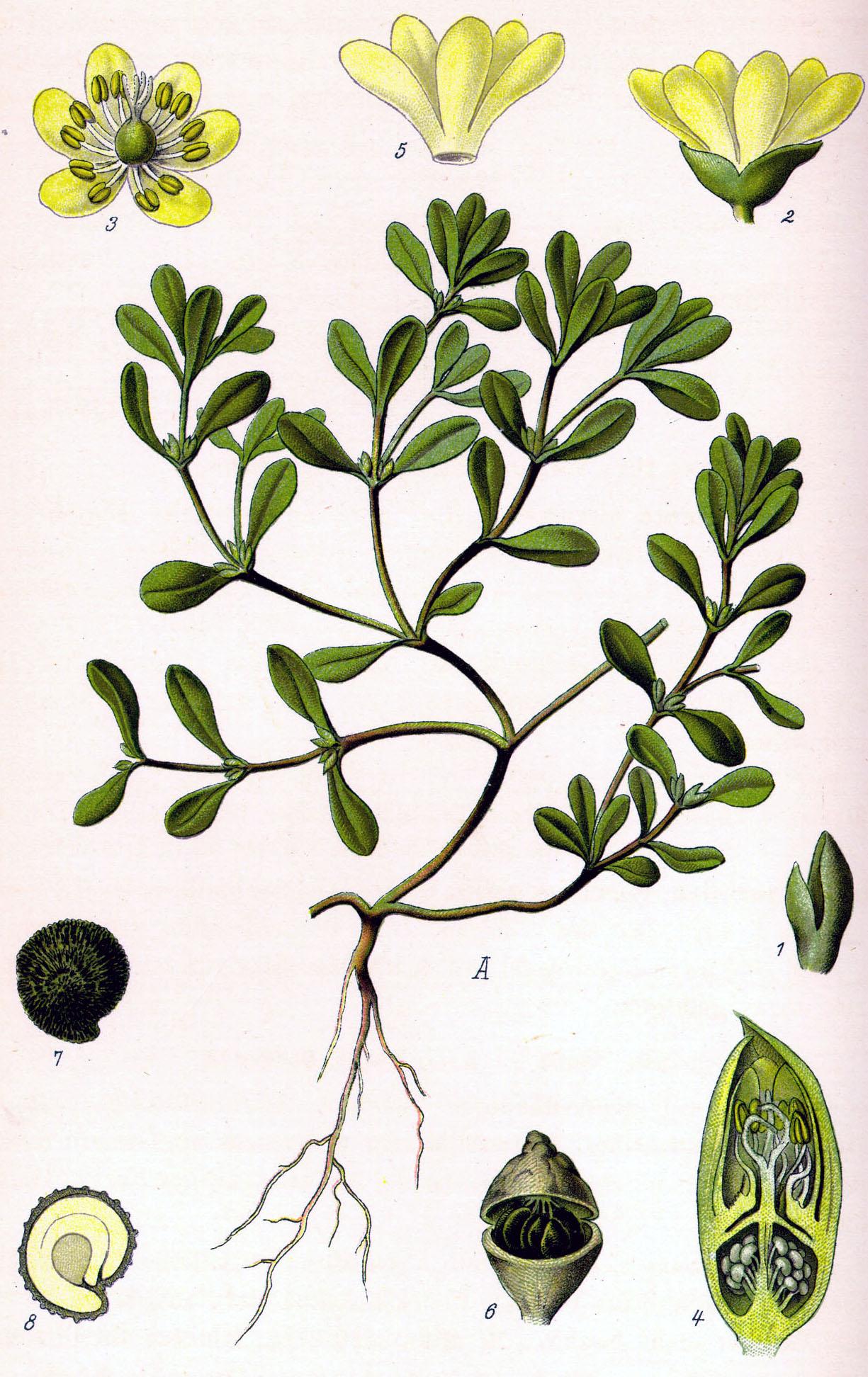 Что употребляет чедловек в пищу корень листья стебель цветки